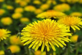 dandelion two